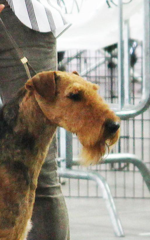 SAM (Ch.Stargus Valentino)  Best Dog at Terrier Club Special Show Torino 2014